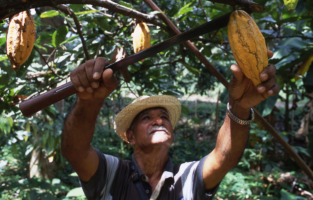Cultivo del Cacao. El Cacao se cultiva en árboles llamados cacaoteros, que producen entre 10 y 15 mazorcas de cacao. En el interior de estos frutos está una semilla que es indispensable para la creacion del chocolate. 2001. (Ramón Lepage / Orinoquiaphoto) The Cocoa cultivates in trees called cacaoteros, which produce 10 to 15 cobs of cocoa. These fruits have a seed that is indispensable for the creation of the chocolat. 2001 (Ramón Lepage / Orinoquiaphoto)